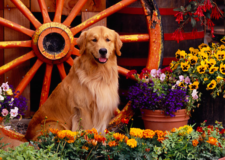 DOG 03 RK0411 10 © Kimball Stock Golden Retriever Sitting By Wagon Wheel And Flowers