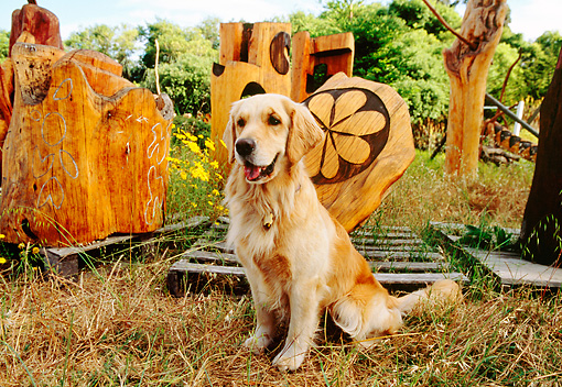 DOG 03 RK0413 02 © Kimball Stock Golden Retriever Sitting By Tree-Trunk Sculptures