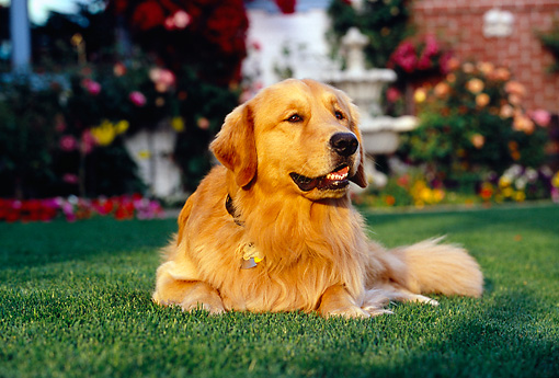DOG 03 RK0416 10 © Kimball Stock Golden Retriever Laying On Grass By Flowers Fountain Building