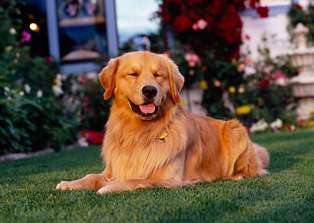 DOG 03 RK0416 12 © Kimball Stock Golden Retriever Laying On Grass By Flowers Fountain Building