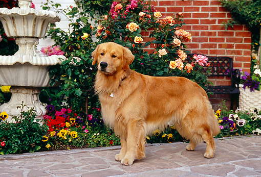 DOG 03 RK0417 08 © Kimball Stock Golden Retriever Standing On Sidewalk By Flowers Fountain Building