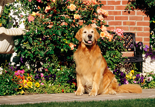 DOG 03 RK0426 05 © Kimball Stock Golden Retriever Sitting By Fountain And Flowers