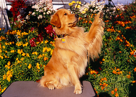 DOG 03 RK0433 02 © Kimball Stock Golden Retriever With One Paw Up By Orange Flower Bush