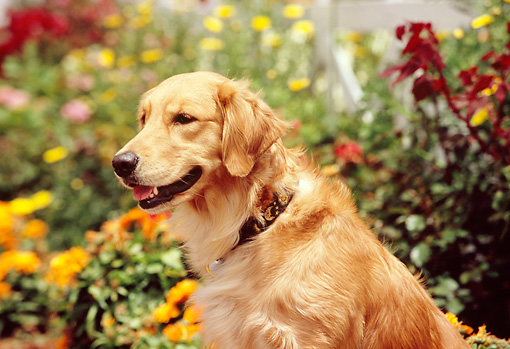 DOG 03 RK0434 08 © Kimball Stock Shoulder Shot Of Golden Retriever Sitting By Flowers