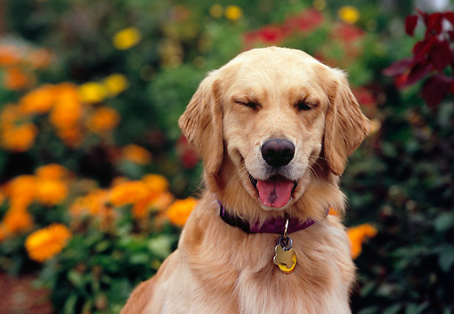 DOG 03 RK0437 01 © Kimball Stock Head Shot Of Golden Retriever Orange Flower Bush Background