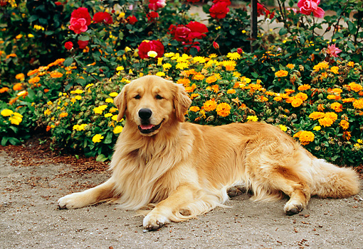 DOG 03 RK0441 05 © Kimball Stock Golden Retriever Laying On Pavement By Flowers
