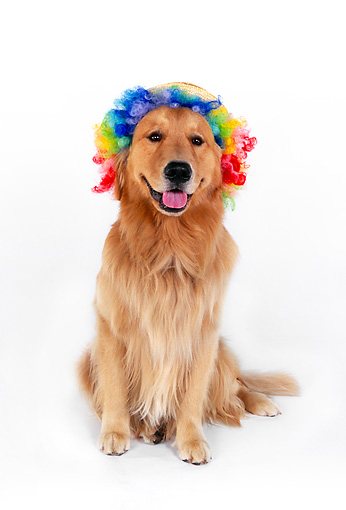 DOG 03 RK0445 01 © Kimball Stock Golden Retriever Sitting Wearing Humorous Hat And Wig On White Seamless