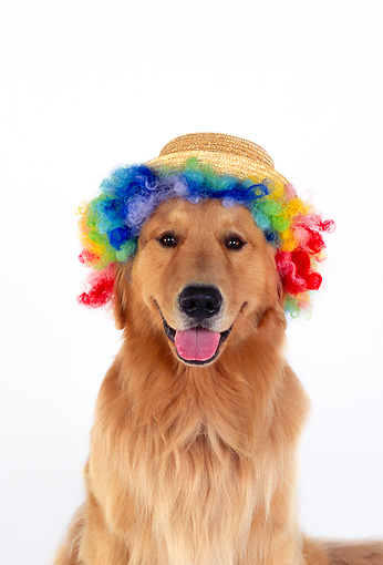 DOG 03 RK0446 01 © Kimball Stock Head Shot Of Golden Retriever Wearing Humorous Hat And Wig On White Seamless