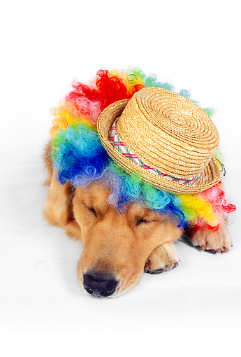 DOG 03 RK0447 05 © Kimball Stock Wide Angle Shot Of Golden Retriever Sleeping Wearing Humorous Hat And Wig On White Seamless