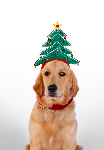 DOG 03 RK0450 06 © Kimball Stock Golden Retriever Sitting With Christmas Tree Hat White Seamless
