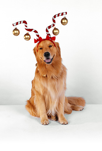 DOG 03 RK0451 06 © Kimball Stock Golden Retriever Sitting Wearing Christmas Ornament Hat White Seamless
