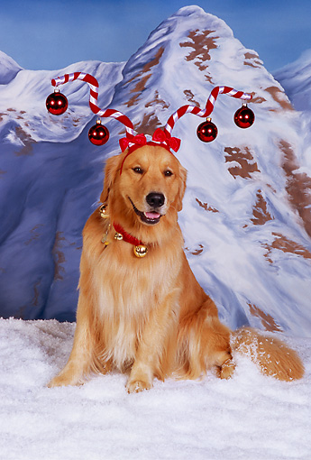 DOG 03 RK0453 04 © Kimball Stock Golden Retriever Wearing Ornament Hat On Snow Mountains In Background