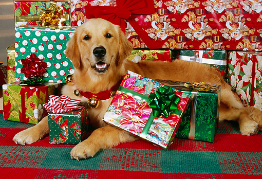 DOG 03 RK0460 03 © Kimball Stock Golden Retriever Laying With Christmas Presents