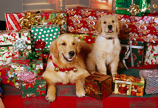 DOG 03 RK0462 01 © Kimball Stock Golden Retriever Adult And Puppy Laying With Christmas Presents