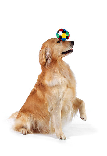 DOG 03 RK0465 01 © Kimball Stock Golden Retriever Balancing Ball On Nose On White Seamless