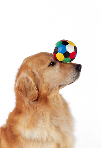 DOG 03 RK0466 03 © Kimball Stock Profile Head Shot Of Golden Retriever Balancing Ball On Nose White Seamless
