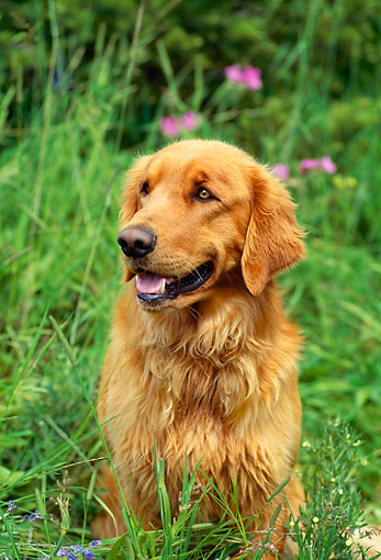 DOG 03 RW0001 01 © Kimball Stock Golden Retriever Sitting In Grass