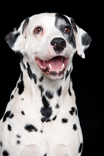 DOG 04 AC0002 01 © Kimball Stock Dalmatian Male Portrait In Studio