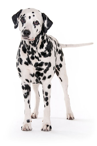 DOG 04 AC0003 01 © Kimball Stock Dalmatian Male Standing In Studio