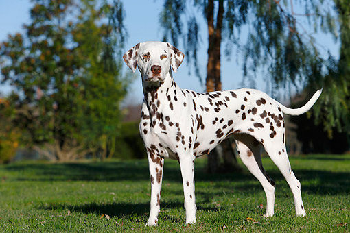 DOG 04 CB0012 01 © Kimball Stock Dalmatian Standing In Grass