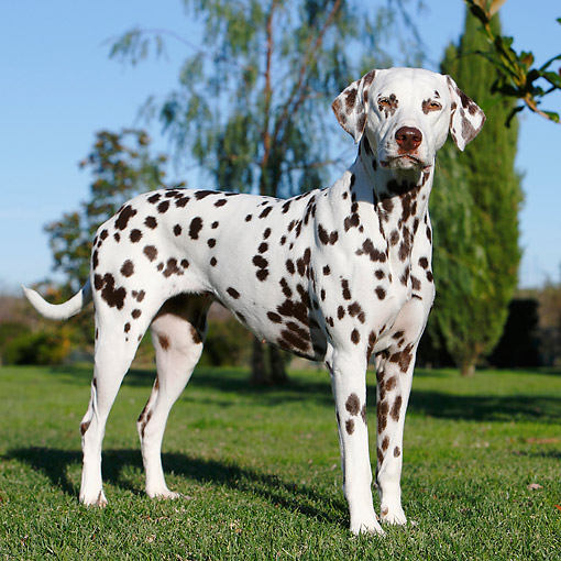 DOG 04 CB0015 01 © Kimball Stock Dalmatian Standing In Grass