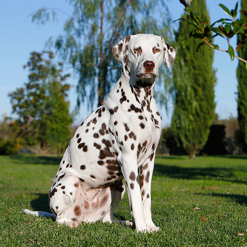 DOG 04 CB0016 01 © Kimball Stock Dalmatian Sitting In Grass