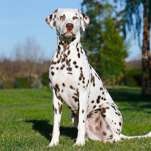 DOG 04 CB0017 01 © Kimball Stock Dalmatian Sitting In Grass