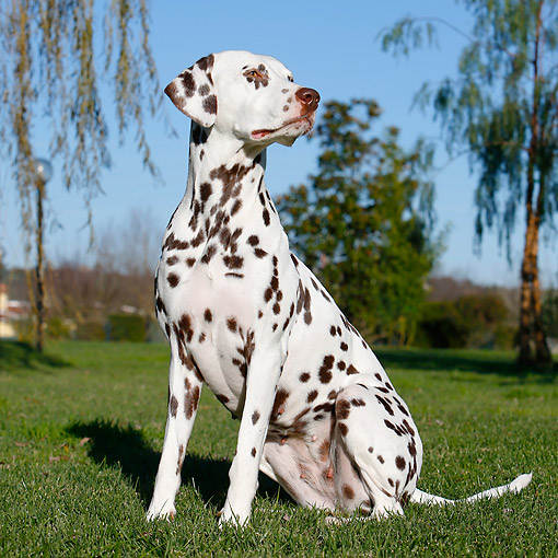 DOG 04 CB0018 01 © Kimball Stock Dalmatian Sitting In Grass