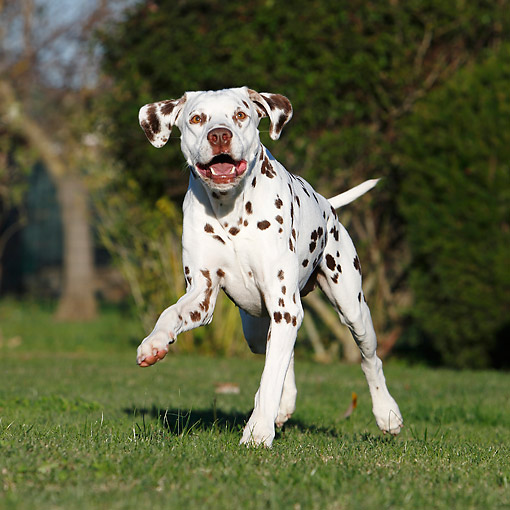 DOG 04 CB0019 01 © Kimball Stock Dalmatian Running In Grass