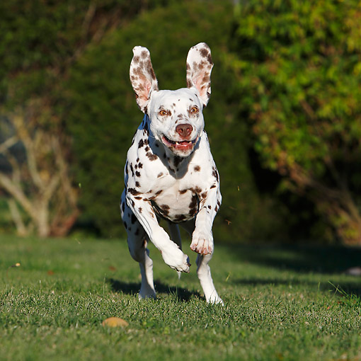 DOG 04 CB0020 01 © Kimball Stock Dalmatian Running In Grass