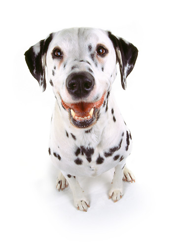 DOG 04 RK0019 08 © Kimball Stock Wide Angle Of Dalmatian Tessa Sitting Mouth Open On White Seamless Background