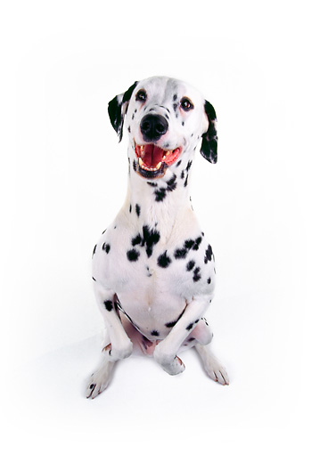 DOG 04 RK0020 03 © Kimball Stock Dalmatian On Hind Feet Begging On White Seamless