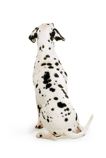 DOG 04 RK0100 01 © Kimball Stock Rear Shot Of Dalmatian Sitting On White Seamless