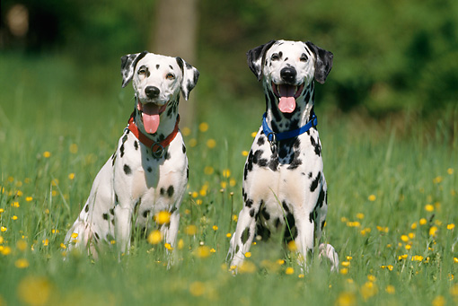 DOG 04 SS0001 01 © Kimball Stock Two Dalmations Sitting In Grass With Dandelions