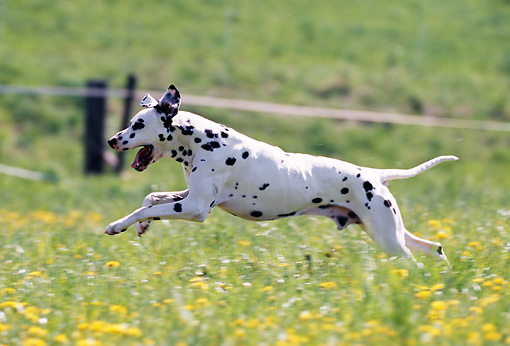 DOG 04 SS0002 01 © Kimball Stock Dalmation Running In Field Of Dandelions