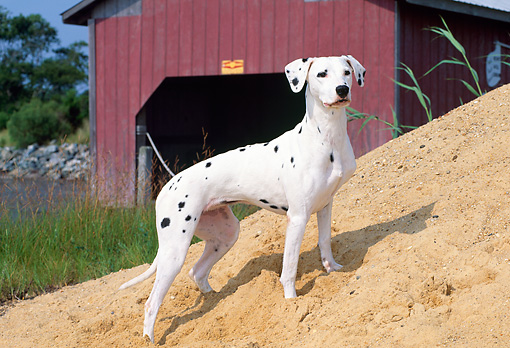 DOG 04 CE0001 01 © Kimball Stock Dalmatian Standing On Sand Hill By Boathouse