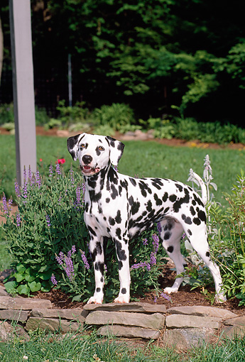 DOG 04 CE0003 01 © Kimball Stock Dalmatian Standing On Stone Wall By Purple Flowers