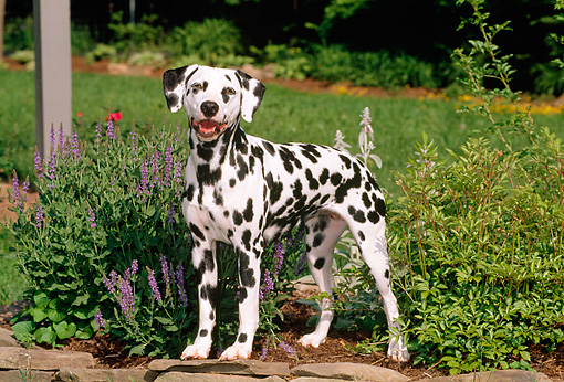 DOG 04 CE0004 01 © Kimball Stock Dalmatian Standing On Stone Wall By Purple Flowers