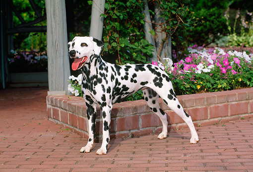 DOG 04 CE0006 01 © Kimball Stock Dalmatian Standing On Brick Patio By Flowers