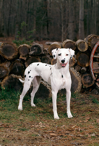 DOG 04 CE0007 01 © Kimball Stock Dalmatian Standing By Woodpile By Woods