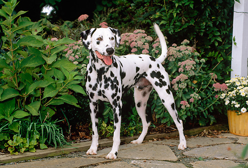DOG 04 CE0008 01 © Kimball Stock Dalmatian Standing On Stone Patio By Flowers