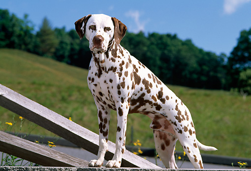 DOG 04 CE0011 01 © Kimball Stock Dalmatian Stepping On Wall By Fence Grass Hill Trees Blue Sky