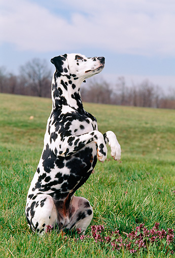 DOG 04 CE0012 01 © Kimball Stock Dalmatian Sitting Up In Field Trees Cloudy