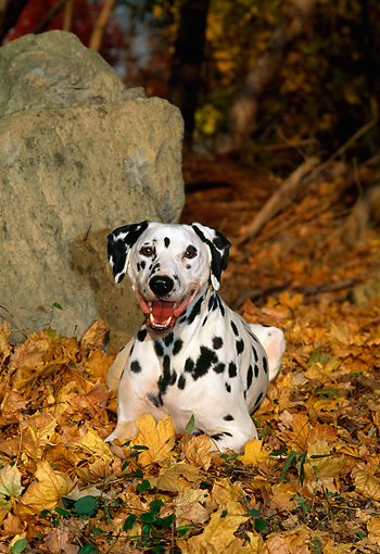 DOG 04 CE0020 01 © Kimball Stock Dalmatian Laying On Autumn Leaves By Boulder