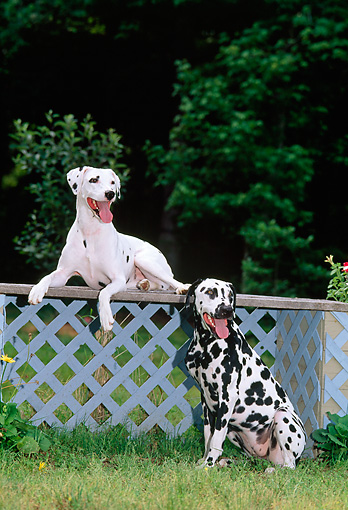 DOG 04 CE0021 01 © Kimball Stock Two Dalmatians Resting By Evergreen Trees