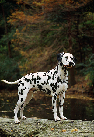 DOG 04 DC0013 01 © Kimball Stock Dalmatian Standing On Rock By Creek And Trees