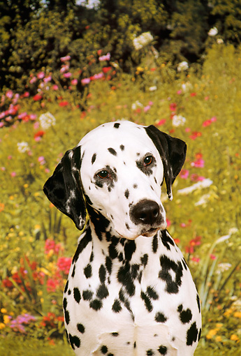 DOG 04 FA0003 01 © Kimball Stock Shoulder Shot Of Dalmatian Sitting By Field Of Flowers
