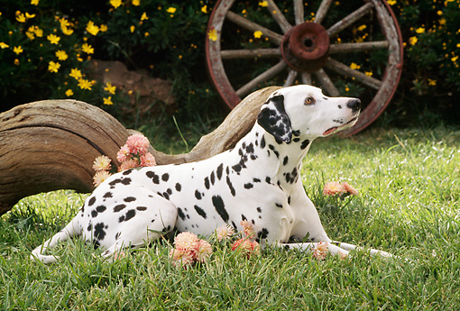 DOG 04 RC0004 01 © Kimball Stock Portrait Of Dalmatian Laying On Grass By Log And Flowers