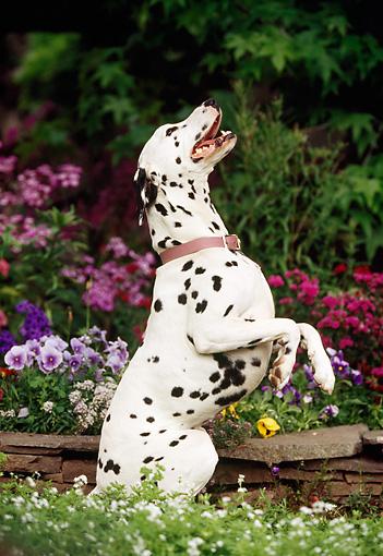 Resultado de imagen para dalmatian standing