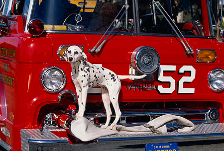 DOG 04 RK0025 01 © Kimball Stock Dalmatian Dog Standing In Front Of Red Firetruck